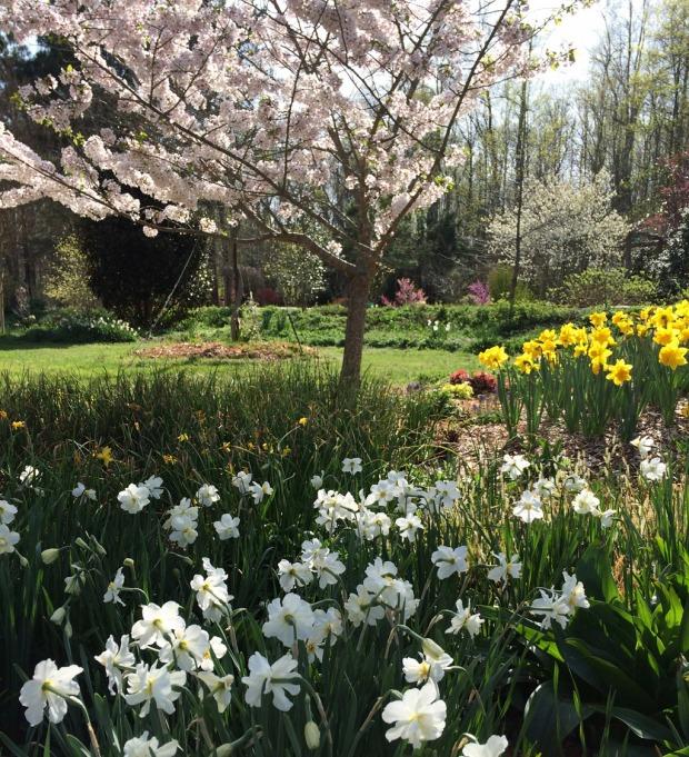 Daffodils in dappled sun
