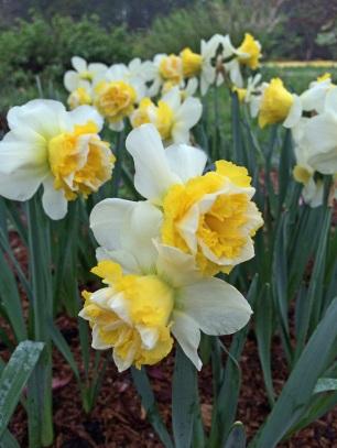 Daffodil j