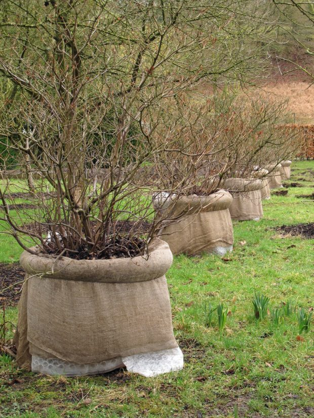 Pots-wrapped-for-winter