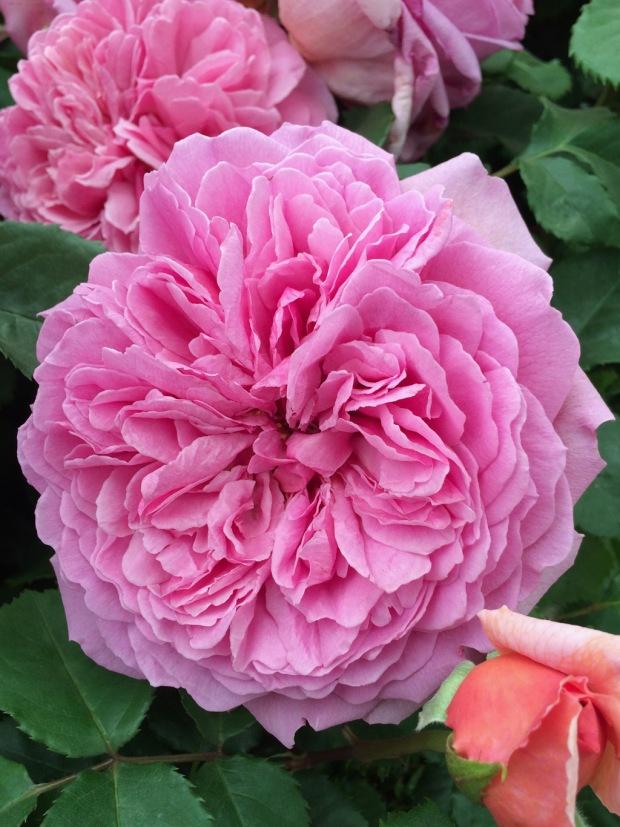 Princess Alexandra of Kent rose