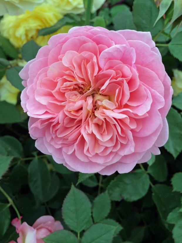 Rosa Boscobel