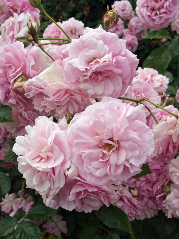 Rosa Lavender Lassie