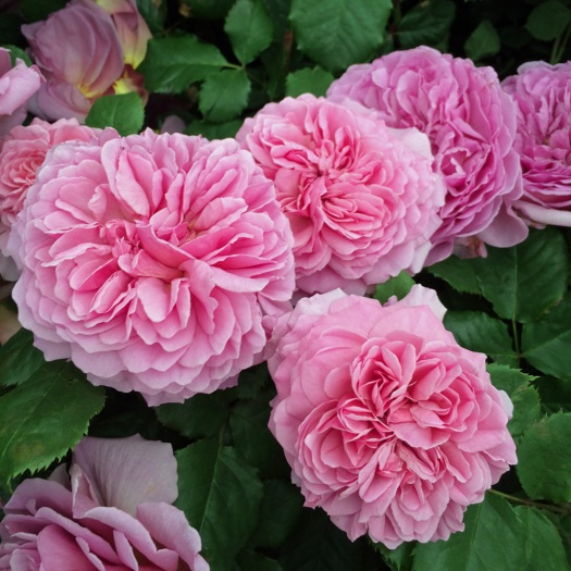 Rosa Princess Alexandra of Kent