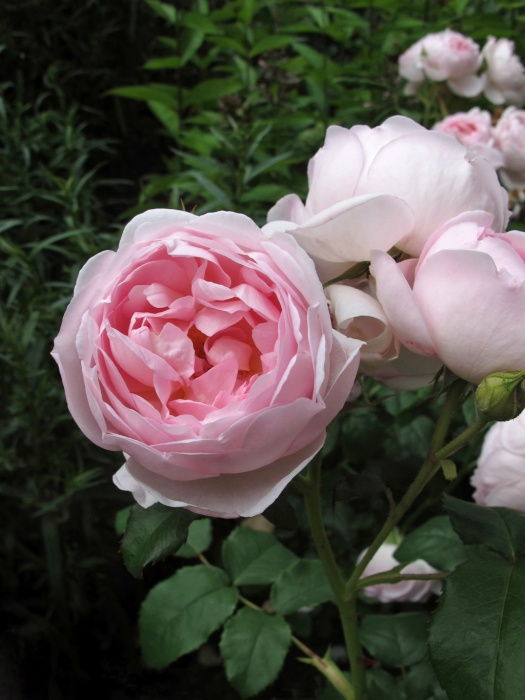 Rosa Scepter'd Isle