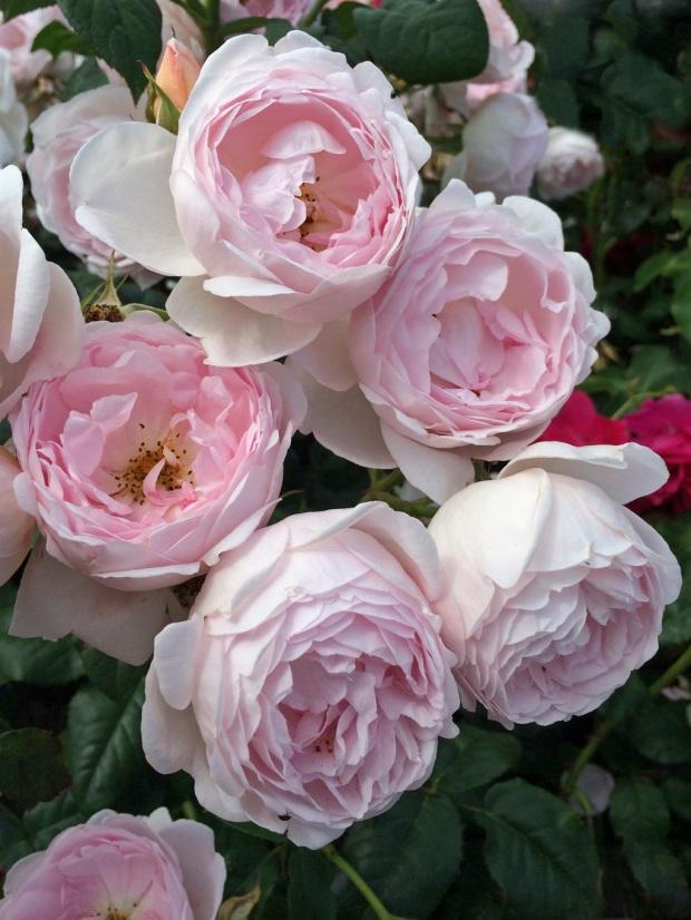 A tumble of roses