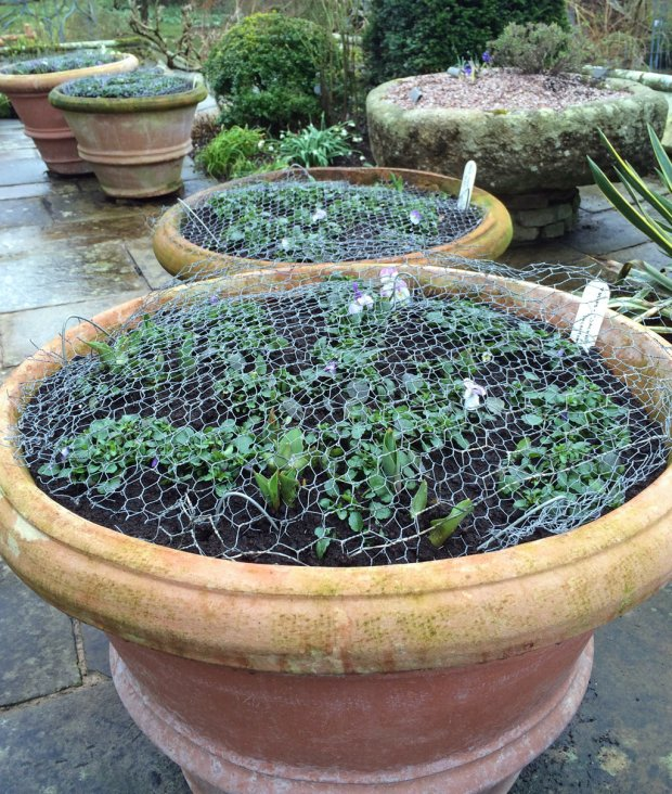 Pots covered in wire mesh to protect bulbs
