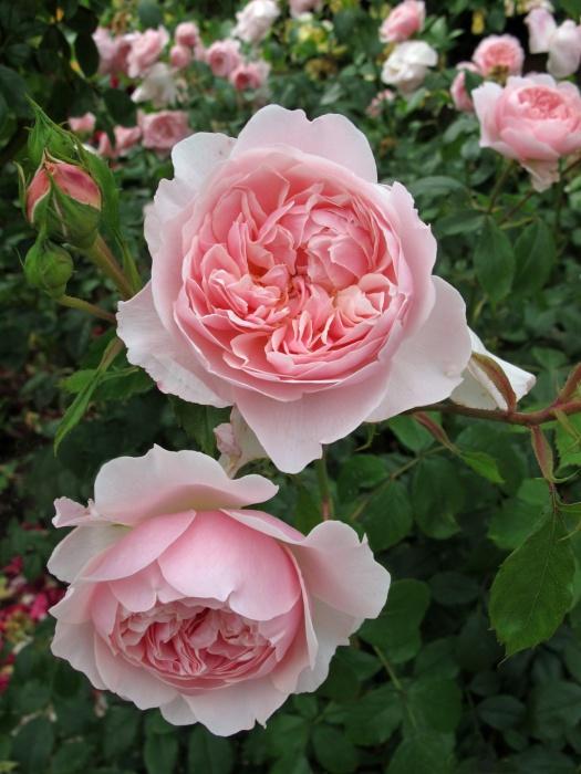 Rosa Wisley 2008