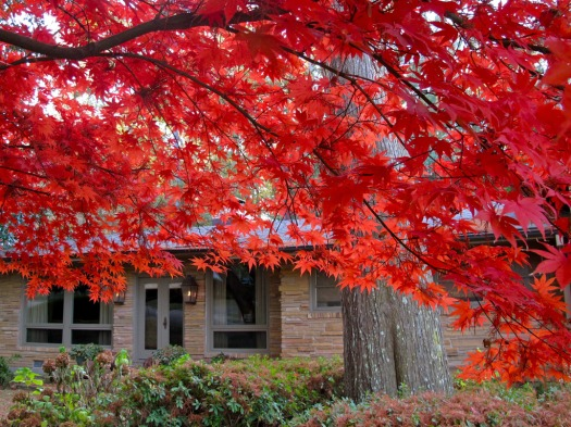 Autumn leaves: acer