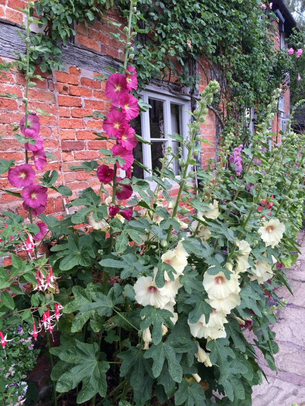 Hollyhocks at Wollerton Old Hall