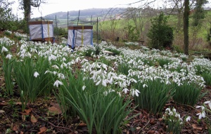 Bee hives with Galanthus Atkinsii