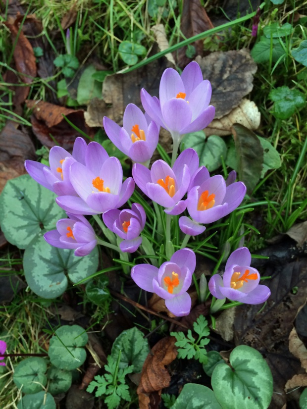 Crocuses at Colesbourne Park