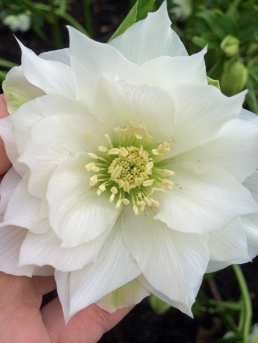 Double white hellebore