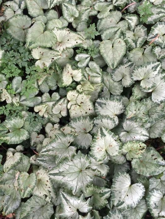 Silver leaved cyclamen