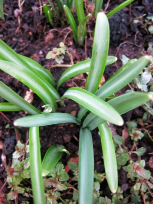 Snowdrop leaves with a broad white stripe