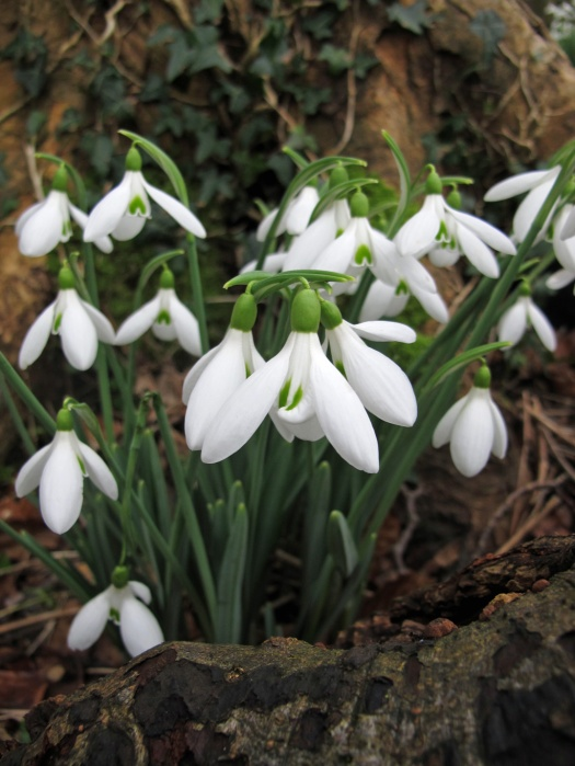 Snowdrops in a woodland setting