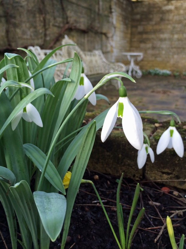 Snowdrops tower over miniature daffodils