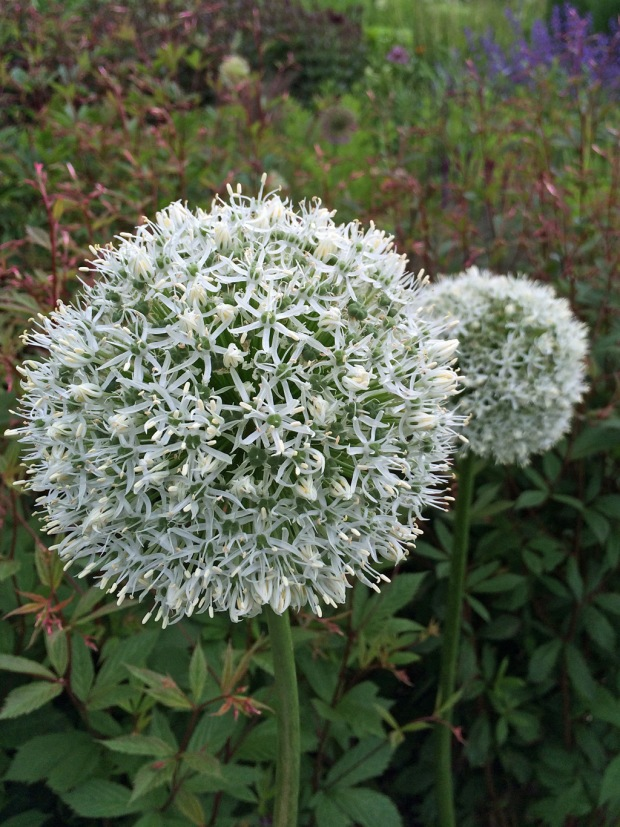 White alliums