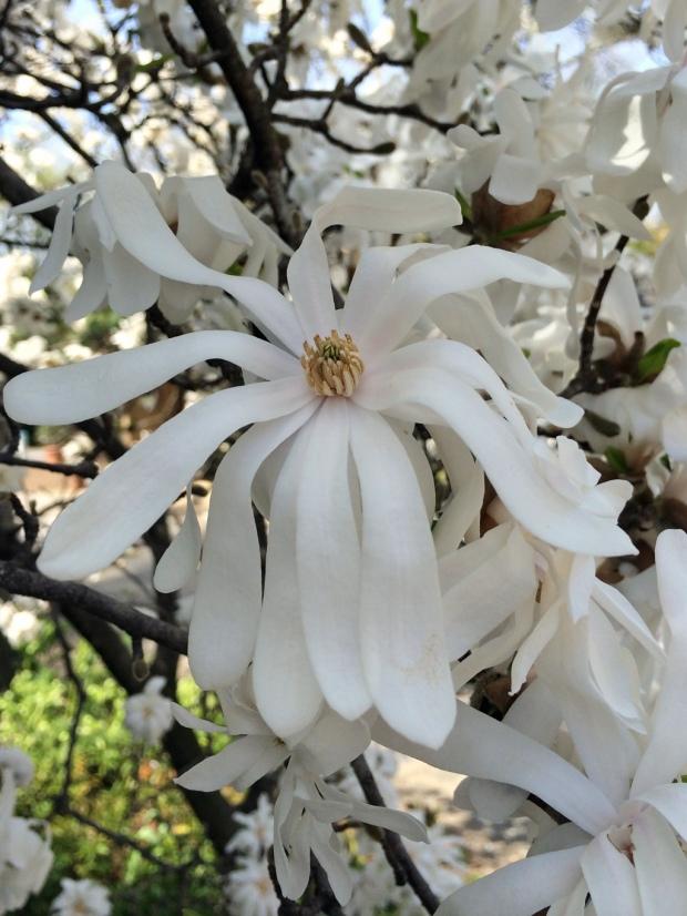 White magnolia stellata