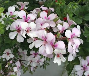 White pelargonium