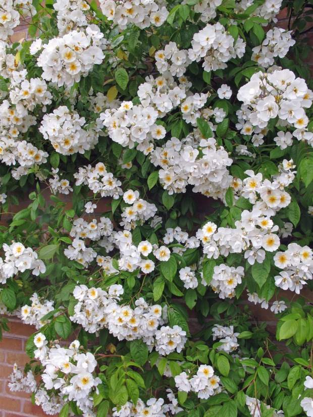 White rambling rose