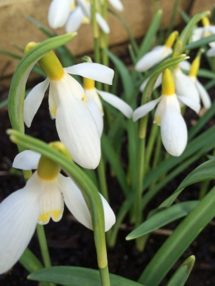 Cluster of yellow snowdrops