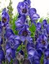 Blue aconitum