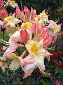 Bicolour azalea