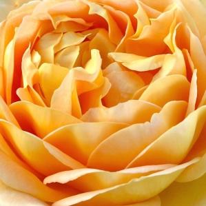 Golden rose petals