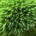 Green florists' plant