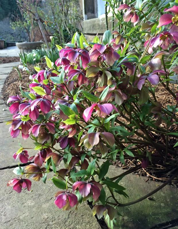 Hellebore plant at Gresgarth Gardens