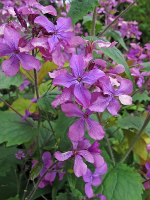 Honesty (lunaria)