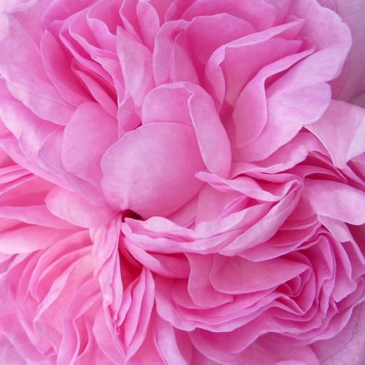 Medium pink rose petals