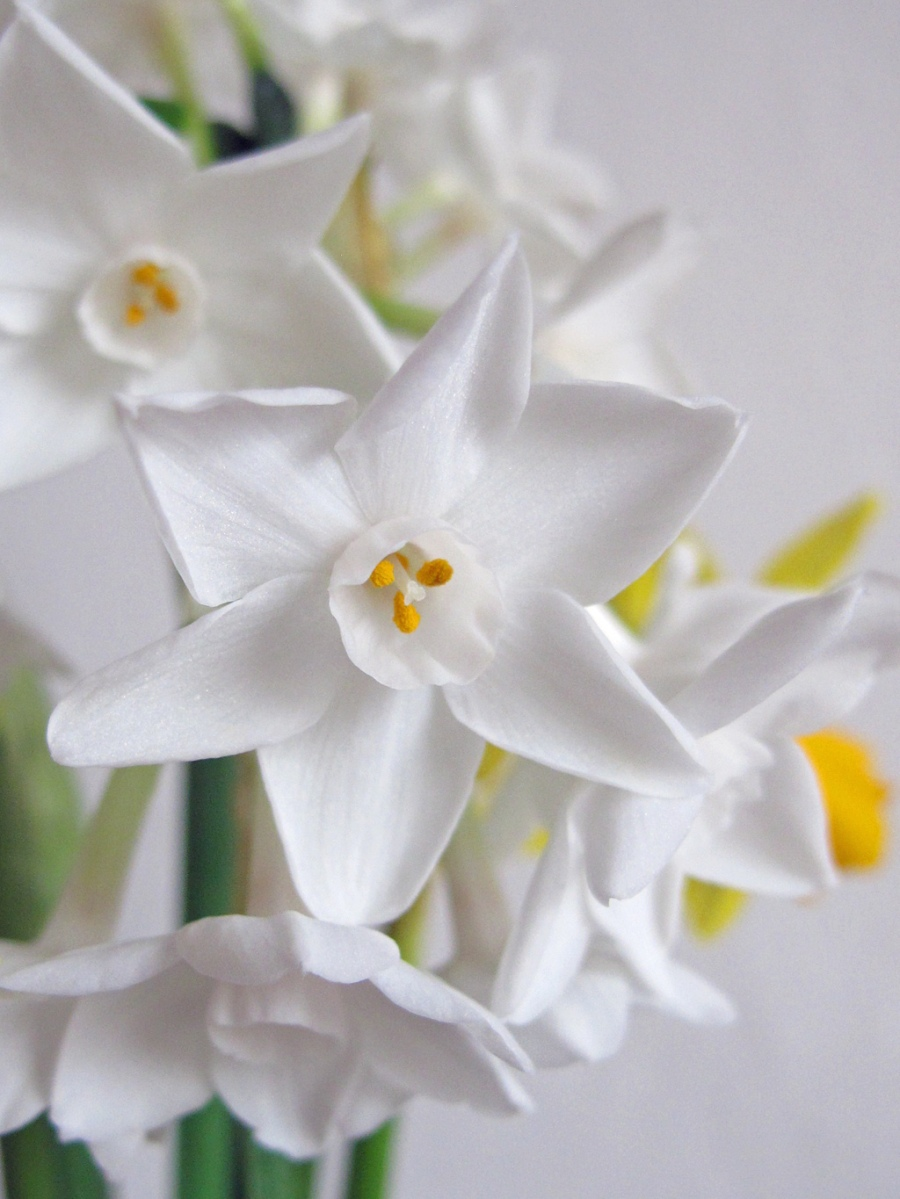 Paperwhites (Narcissus)