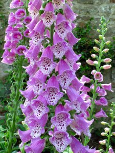 Spotted foxglove