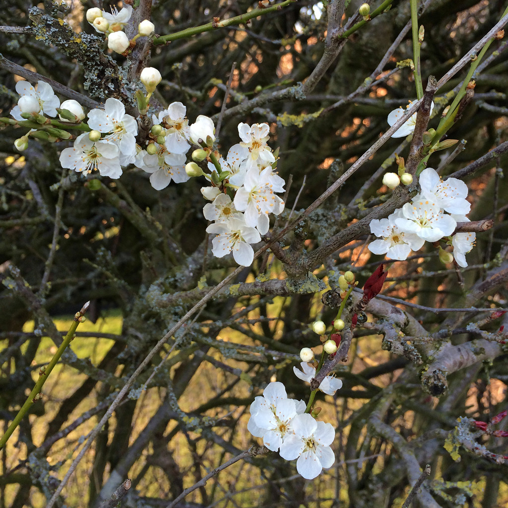 Blossoms and twigs 3