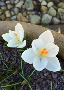 Cream crocus with a delicate purple stripe