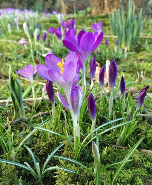 Crocuses growing through moss