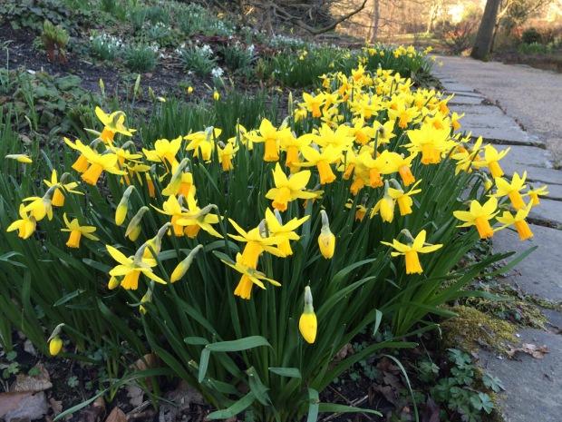 Daffodil path through the wood