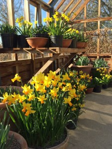 Daffodils in pots
