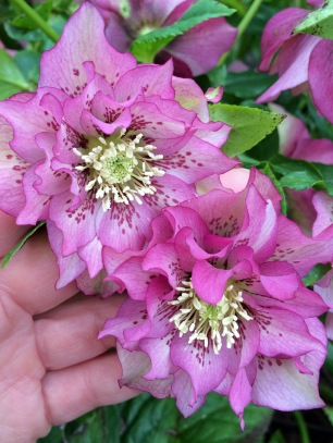 Double spotted hellebores