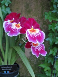 Orchid Miltoniopsis 'Beethoven'