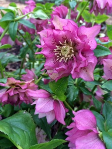 Party girl hellebore