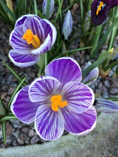 Striped crocuses