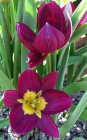 Tulip 'Persian Pearl'