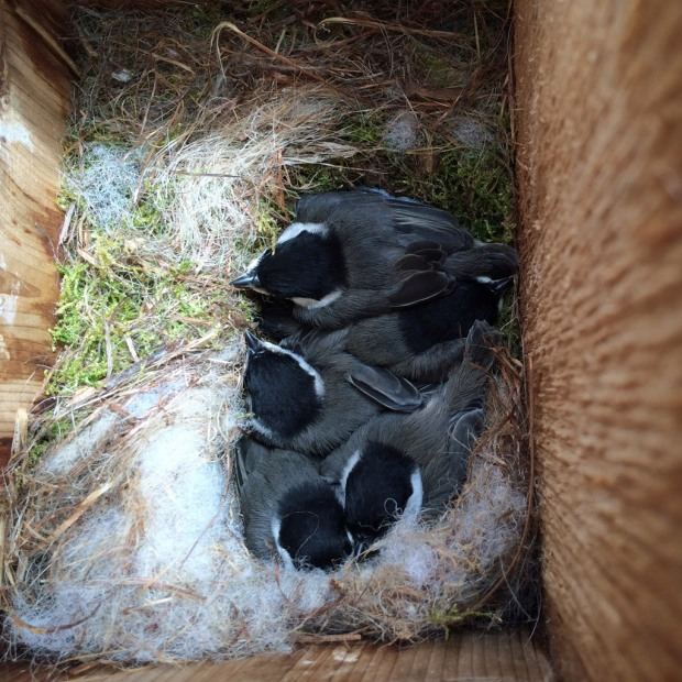 Baby chickadees in a nest box