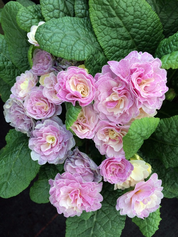 Double pink primula