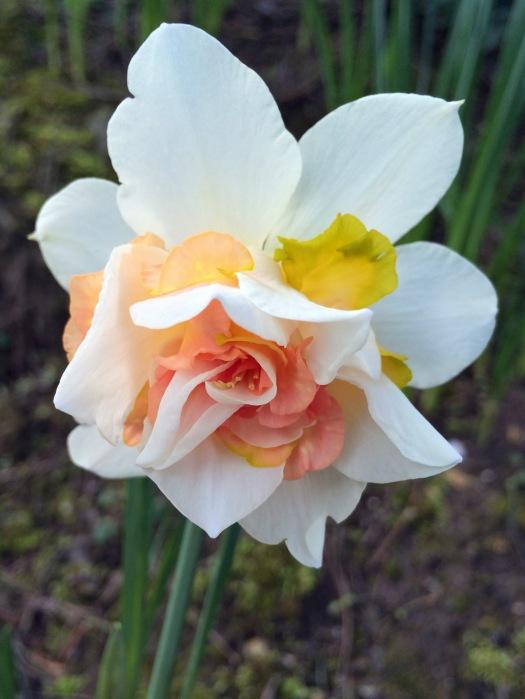 Peach, white and yellow daffodil