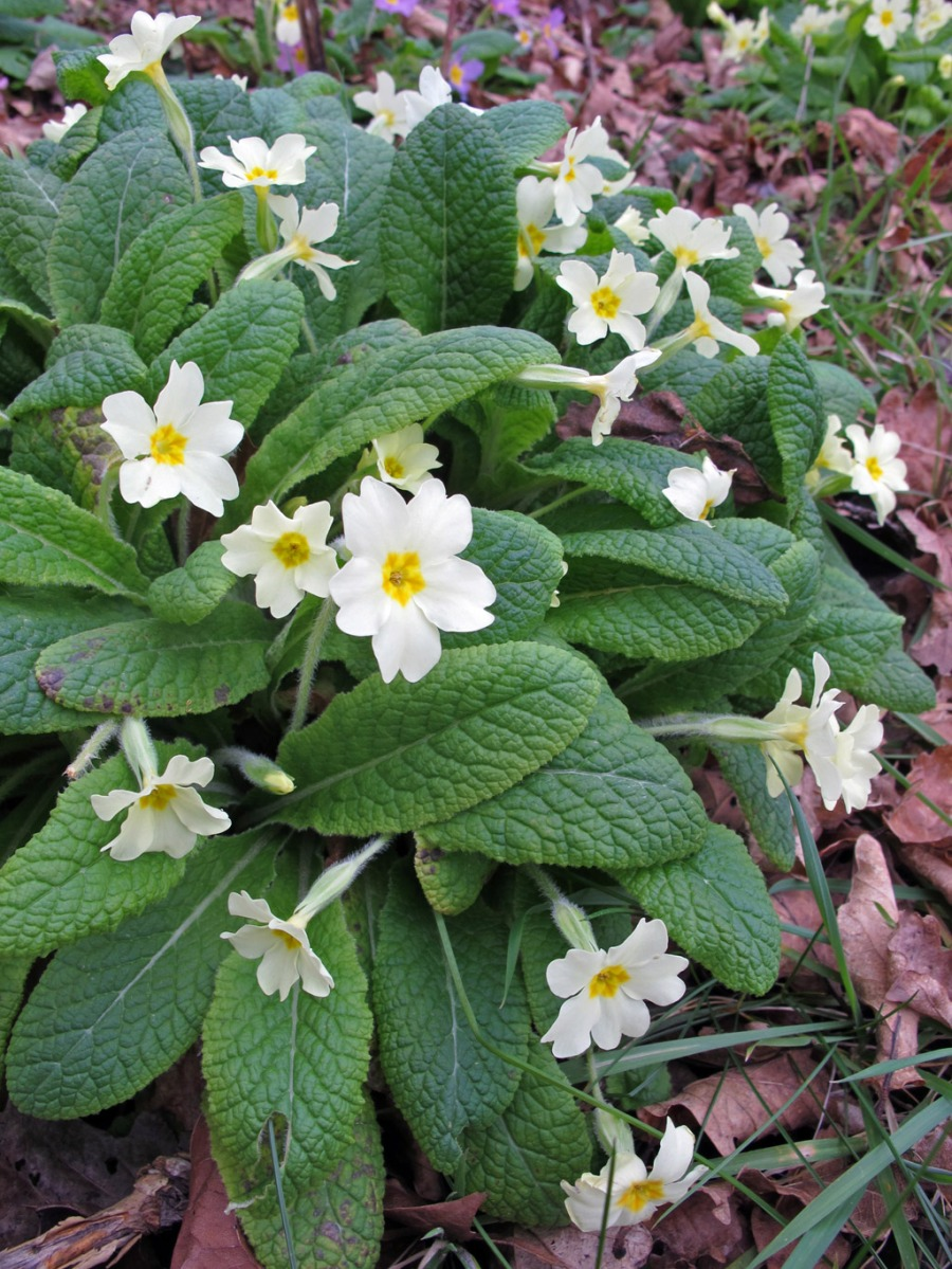 Primroses growing wild