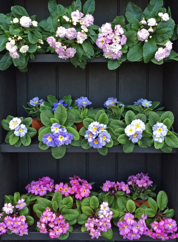 Three primulas