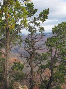 Trees on the edge of the Grand Canyon